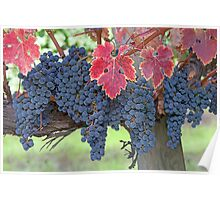 Grapes, Napa Valley, California Poster