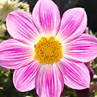 Pink Dahlia by Phill Danze