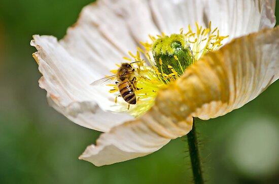Poppy and the Bee by gmws