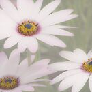 Daisies Three  by DIANE  FIFIELD