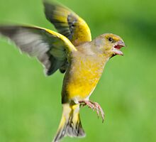 Greenfinch ~ In flight by M.S. Photography/Art