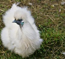 White Silkie by Susan Dailey