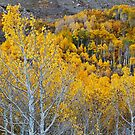Bishop Creek Aspen by Nolan Nitschke