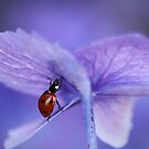 Ladybird  on purple hydrangea by Ellen van Deelen