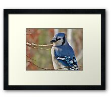Blue Jay in Autumn Framed Print