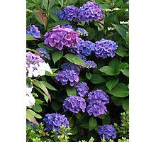 Blue Beauties - Hydrangea Blossoms Photographic Print