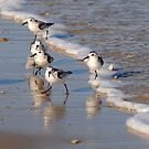 Piping Plovers 2 by Robin Lee