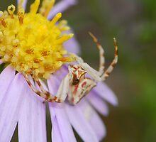 crad spider by davvi