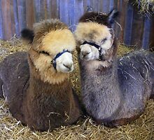 Alpacas by Esther's Art and Photography