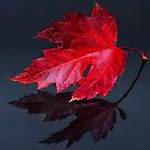 Red leaf by THHoang