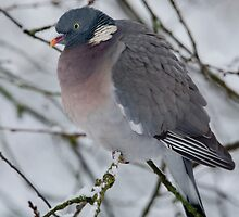 Winter Wood Pigeon by Neil Bygrave (NATURELENS)