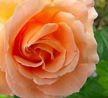Orange Rose  by JoelCollins