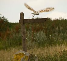 Barn owl on location. by sandyprints