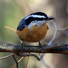 Red Breasted Nuthatch by Unibrain