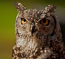 African Spotted Eagle Owl by JMChown