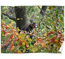 Mongoose Lemur Poster