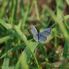 Eastern Tailed-Blue by eaglewatcher4