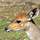 Bushbuck by Graeme  Hyde