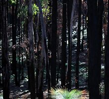 Post February 2009 Bushfires - between Healesville and Kinglake VIC  by OzNatureshots