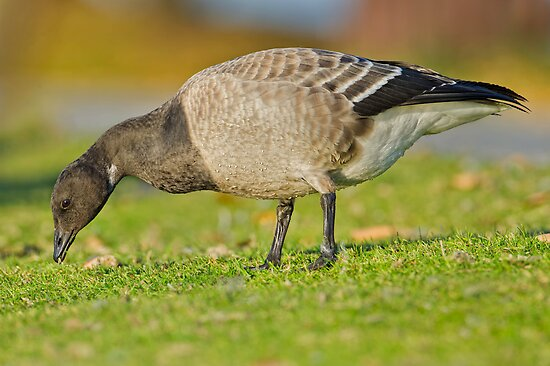 New goose in town by Daniel  Parent
