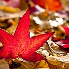 Star-shaped red leaf by Jérôme Le Dorze