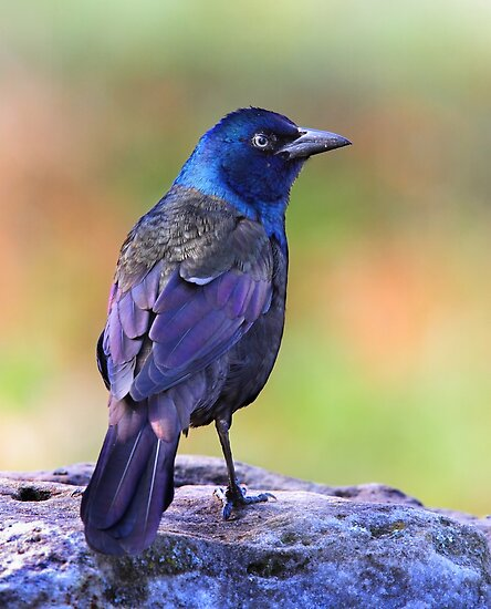 Grackle Sparkle by Jim Cumming