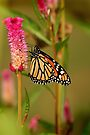 Last Butterfly by Eileen McVey
