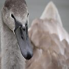 Portrait of a Cygnet (1) by cullodenmist