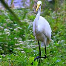 Great Egret  by AuntDot