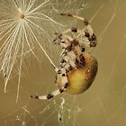 Four spot orb-weaver spider by Pauline-W