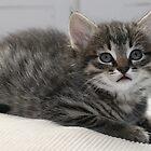 Cute Kitten by Paul Murray
