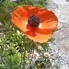 Pretty Orange Poppy in a Rock Garden by Paula Betz