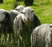 Still More Herdwicks ~ Leac Na Ban, Argyll, Scotland by artwhiz47