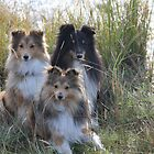 Three Shelties... by ninjabob