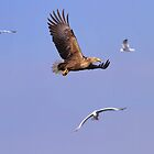 White-tailed Eagle by Anne-Marie Bokslag