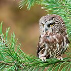 Northern Saw-Whet Owl by (Tallow) Dave  Van de Laar