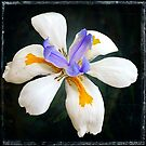 white iris by Helenvandy