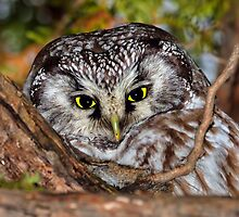 Boreal Owl in a Tree by SteveTroletti