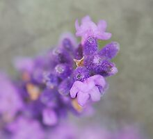 A touch of lavender by Heather Thorsen