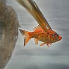 Poor Goldfish by KatMagic Photography