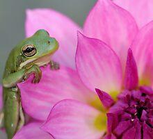 Green tree frog + pink dahlia by Mundy Hackett