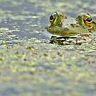Green bullfrog by Mundy Hackett