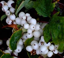Snowberry time. II by Bluesrose