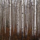 to stand in a stand of aspens is to stand still with your thoughts by katrinekaarse