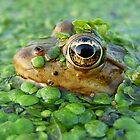The Frog King by Istvan froghunter