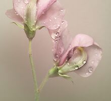 Pink Sweet Pea Flowers by EbyArts