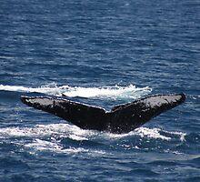 Fluke Up Dive - Humpback Whale by Katie Grove-Velasquez