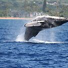 Humpback Breaching - 1 of 3 by Katie Grove-Velasquez