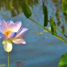 Blue Lotus by Polly Greathouse