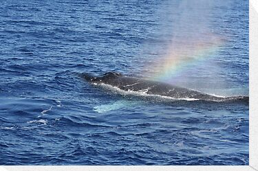 Humpback Rainblow by Katie Grove-Velasquez